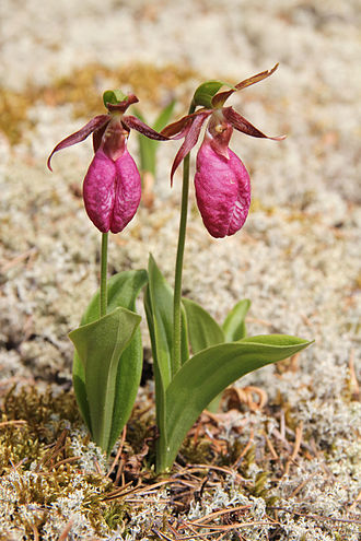 Cypripedium acaule - Image: Cypripedium acaule Sasata edit 1