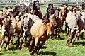 Dülmen, Wildpferdefang 1982 -- 2010 -- 7.jpg