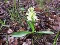Dactylorhiza sambucina sl3.jpg