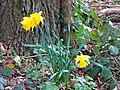 Daffodils, near Coate Water, Swindon - geograph.org.uk - 723034.jpg