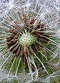 Dandelion Head Glenlee Village - geograph.org.uk - 771159.jpg