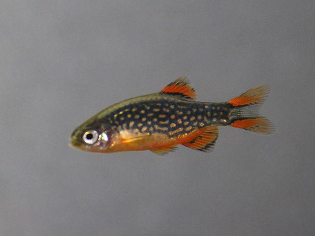 Danio margaritatus - Small Freshwater Fish