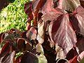 Darkred colored leaves.jpg