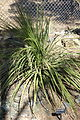 Dasylirion wheeleri - Leaning Pine Arboretum - DSC05575.JPG