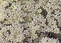 Daucus carota flowers, peen 'Napoli' (2).jpg