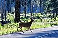 Deer (5499633773).jpg