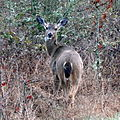 Deer in Salem (5559515412).jpg