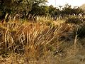 Deergrass - Flickr - treegrow.jpg