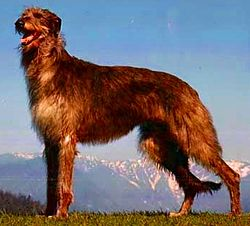 Scottish Deerhound Top Breed of Hound Dog