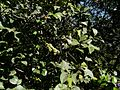 Delek Air tree (3094884209).jpg
