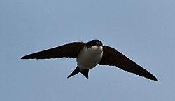 Delichon urbicum -Iceland -flying-8 (1).jpg