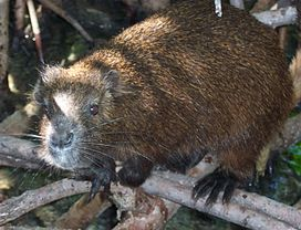 Demarest's hutia.jpg