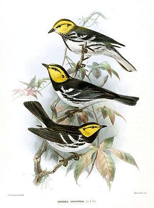 Golden-cheeked warbler - Print by John Gerrard Keulemans, 1890