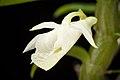 Dendrobium trinervium (Indo-China or Malaysia) Ridl., J. Linn. Soc., Bot. 32- 242 (1896) (37273760871).jpg