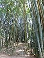 Dendrocalamus giganteus-Jardin botanique de Kandy (1).jpg