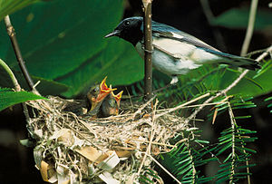 Black-throated blue warbler - Typical nest site