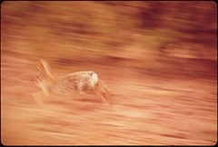 Desert Cottontail, 05-1972 (3814150917).jpg