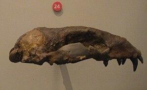 Pinniped - Fossil skull cast of Desmatophoca oregonensis from the extinct Desmatophocidae