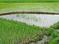 Detail of Rice Paddy - Dien Bien Phu - Vietnam (48159144451).jpg