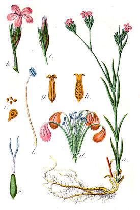 Ботаническая иллюстрация Якоба Штурма из книги Deutschlands Flora in Abbildungen 1796