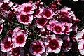Dianthus chinensis Raspberry Parfait 1zz.jpg