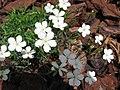 Dianthus deltoides 04.jpg