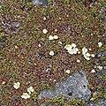 Diapensia lapponica (bud s4).jpg