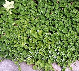 <i>Dichondra</i> genus of plants