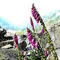 Digitalis purpurea (Vallée du Marcadau).jpg