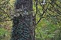 Dijon Ecureuil dans le parc de la Colombière.JPG