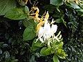 Dipsacales - Lonicera japonica 3.jpg