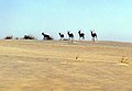 Doñana 1986 18.jpg