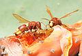 Doğu Eşekarısı - Vespa orientalis - Oriental hornet 04.JPG