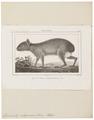 Dolichotis patagonica - 1700-1880 - Print - Iconographia Zoologica - Special Collections University of Amsterdam - UBA01 IZ20600049.tif