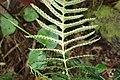 Doodia australis kz12.jpg