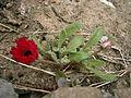 Dorotheanthus bellidiformis 001.jpg