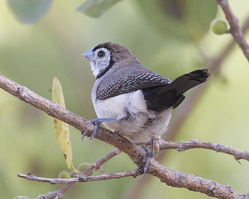 Double-barred Finch (Taeniopygia bichenovii) - Flickr - Lip Kee (1)