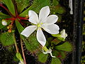 Drosera whittakeri ssp aberransFlora.jpg