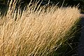 Dry grass in setting sun at Öhed.jpg