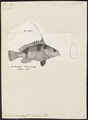 Dules auriga - 1809-1845 - Print - Iconographia Zoologica - Special Collections University of Amsterdam - UBA01 IZ13000094.tif