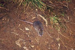 Dwarf Cloud Rat of Mt. Pulag.jpg