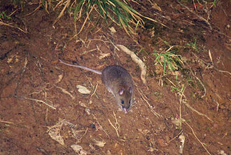 Mount Pulag - A short-footed Luzon Tree Rat or a Dwarf Cloud Rat