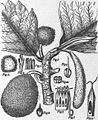 EB1911 Breadfruit.jpg