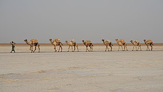 Camel train - A contemporary camel caravan for salt transportation in Afar Region, Ethiopia