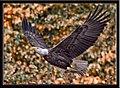 Eagles conowingo (17732403125).jpg