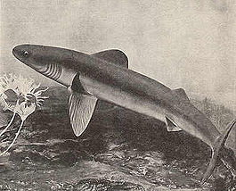 Early Shark.jpg