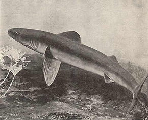 Description de l'image Early Shark.jpg.