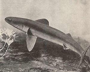 Cladoselachidae - A reconstruction of Cladoselache