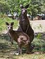 Eastern Grey Kangaroo Adult and Joey - Nov 2008.jpg