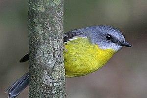 Eastern yellow robin - In Lamington National Park, Queensland, Australia
